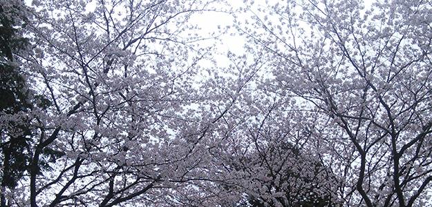 店舗近くの桜の木